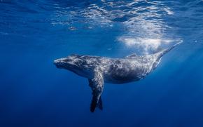 ocano, ballena de brazos largos, agua, Jorobado, Ballena jorobada, luz