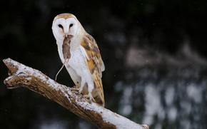 barn owl with snack, campbellville, ontario, canada