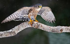 merlin falcon, halcn, esmerejn