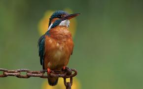 kingfisher, зимородок, цепь