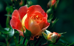 brotes, rosa, Macro
