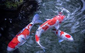 koi, Japanese carp, water, Fish