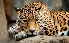 giaguaro, riposo, predatore, vista