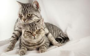 Silver British shorthair, mackerel tabby, британские короткошерстные тигровые кот и кошка