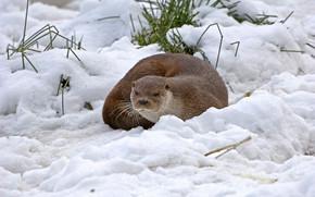 Eurasian river otter, речная выдра, порешня