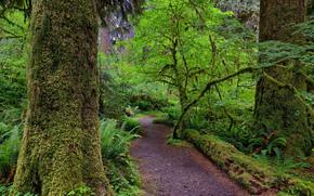 Hall of Mosses, Hoh rainforest of the Olympic National Park, Washington, USA
