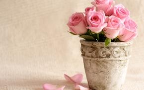 горшок, розы, розовые, вазон, цветы, лепестки