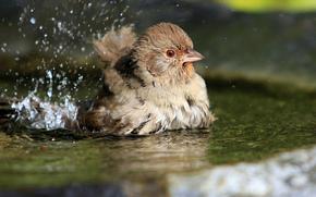 купание, вода, птица, брызги