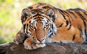 Tiger, Walter zoo, Gossau, Svizzera
