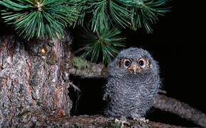 baby, Owl, owlet