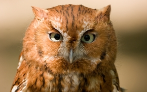 Red Phase Eastern Screech Owl, рыжая, ушастая сова