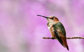 background, colibri, branch, twig, bird