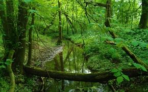 foresta, piccolo fiume, torrente, alberi, natura