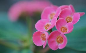 цветок, каланхое, соцветие, розовый