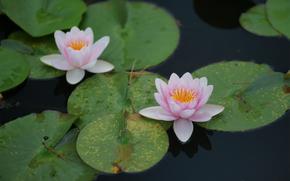 pond, fogliame, ninfea, loto, arrotondare, rosa, Giglio, acqua