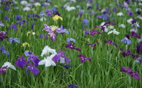 clareira, campo, Branco, lilás, Íris, verão, cor