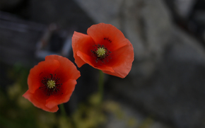 focus, Two, Poppies, Flowers