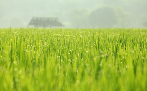 SPRING, greens, May, nature, field, dew