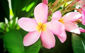 цветок, екзотика, розовый