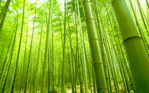 лес, бамбук, заросли