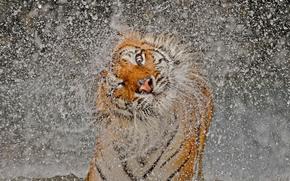 spruzzo, tigre, Muso