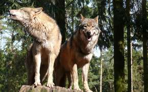 STUMP, forest, couple, Gray Wolves