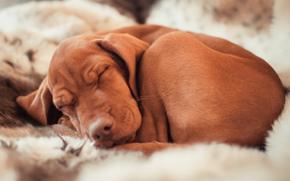 охотничья порода собак, сон, венгерская легавая, собака, спит, Венгерская выжла