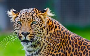fumoso, leopard, visualizzare