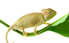 хамелеон, лист, фон