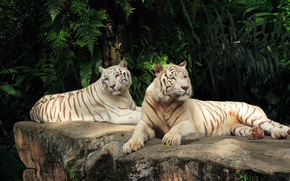 Tigers, Albino, thicket
