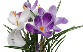 цветы, крокусы, фон