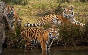 тигры, берег, водоем