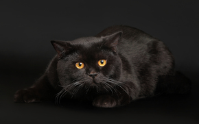 черный, кот, фон