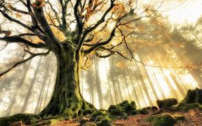 November, Ponthus' Beech, Brocéliande forest, Bretagne, France