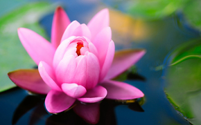 пруд, кувшинка, водяная лилия, лотос, цветок, зеленые, листья, розовая
