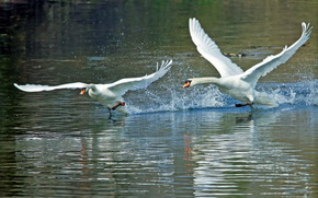 Swans, spray, takeoff