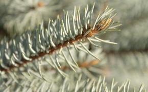 fir-tree, needles, branch
