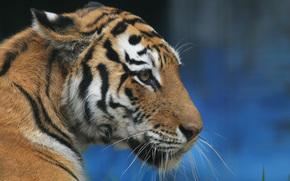 tiger, тигр, профиль