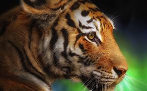 Tiger, dimension, tigre, profil