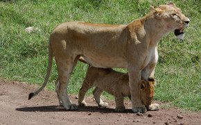 leoni, leonessa, lionet
