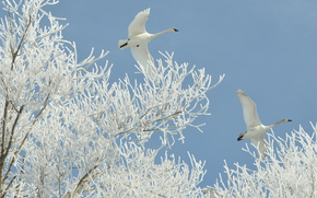 Frosty, swans, Flight