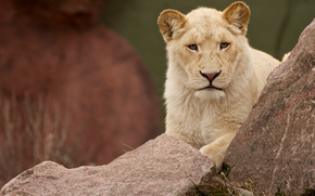 female, white, lion, cub, молодая, львица