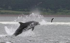 Bottlenose, Dolphin, Salmon, бутылконосый, дельфин, лосось