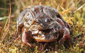 Common, Toads, жабы, обыкновенные