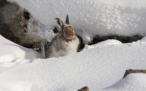 mountain, Hare, hare, hare