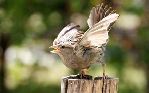 bird, birdie, sparrow, fight, background