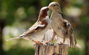 воробей, воробьи, птицы, драка, спор