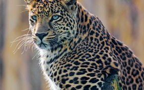 giovane, maschio, leopard, posa, ramo