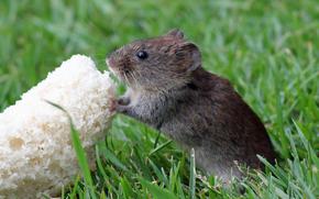 мышь, хлеб, трава
