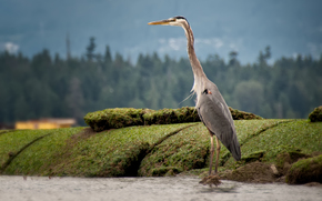 airone, Standing Tall, Kitsilano, Vancouver, British Columbia, Canada